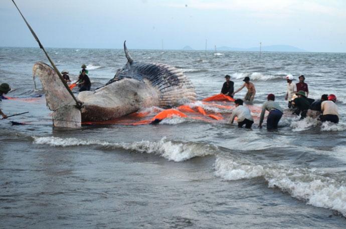"""Toàn cảnh trục vớt cá voi """"khủng"""" tại Nghệ An - 1"""