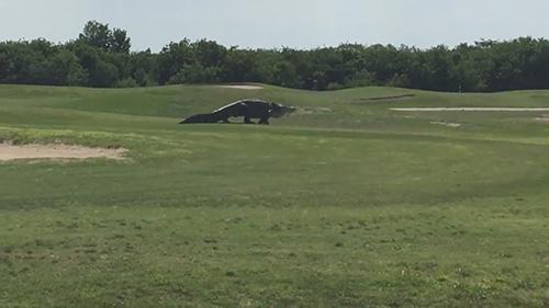 Kinh hãi với cá sấu khổng lồ trên sân golf - 2
