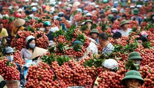 200 thương lái TQ vào Bắc Giang giám sát thu mua vải thiều - 1
