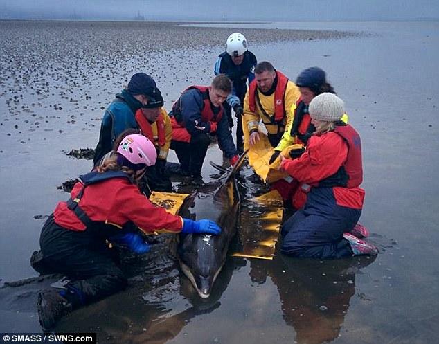Scotland: Cứu sống cá heo mũi chai mắc cạn - 3