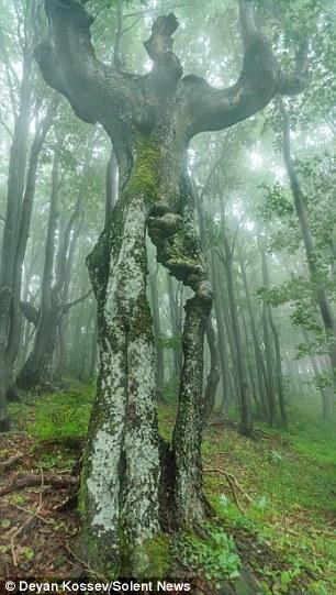 Cây sồi 20m có hình dáng như người ở Bulgaria - 2