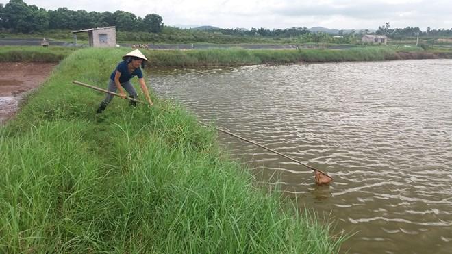 Quảng Ninh: Tôm chết hàng loạt, người nuôi bán vội tôm non - 2