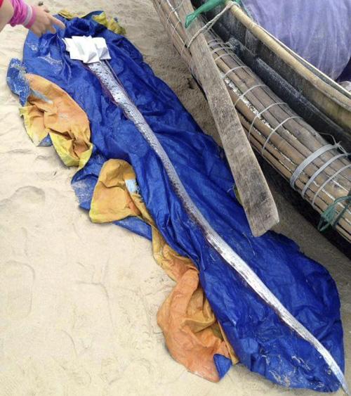 Phát hiện cá mái chèo khổng lồ dạt vào bờ biển TT-Huế - 1