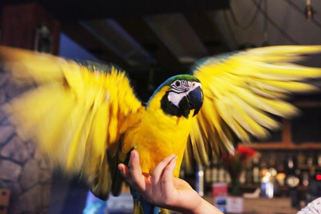 Thú chơi vẹt đuôi dài đắt đỏ nhất thế giới ở Hà Nội - 2