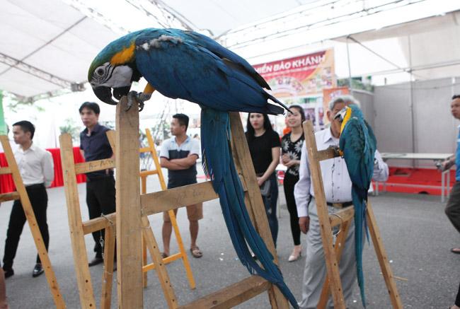 Thú chơi vẹt đuôi dài đắt đỏ nhất thế giới ở Hà Nội - 3