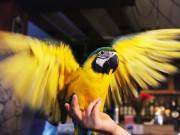 Tin tức trong ngày - Thú chơi vẹt đuôi dài đắt đỏ nhất thế giới ở Hà Nội