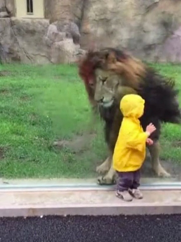 """Nhật: Sư tử tấn công cậu bé 2 tuổi và cái kết """"đắng"""" - 2"""