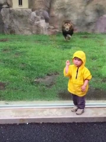 """Nhật: Sư tử tấn công cậu bé 2 tuổi và cái kết """"đắng"""" - 1"""