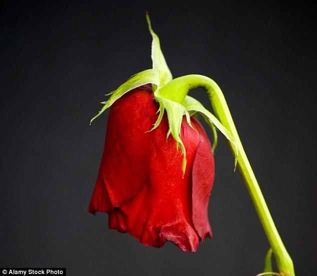 """Tìm ra """"thuốc"""" giúp hoa hồng không héo trong nhiều ngày - 1"""