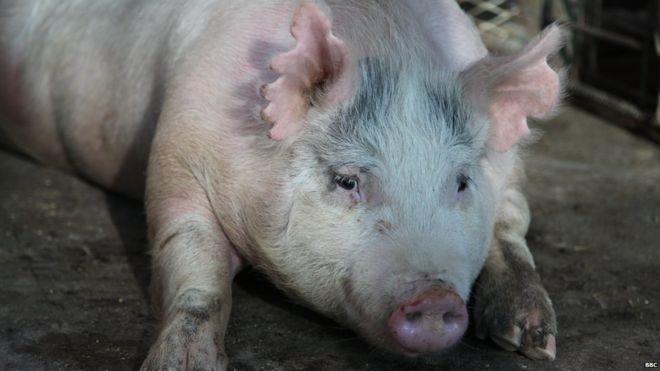 Mỹ: Nuôi phôi lợn-người trong cơ thể lợn - 3