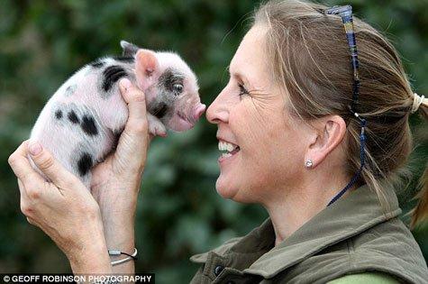 Mỹ: Nuôi phôi lợn-người trong cơ thể lợn - 1