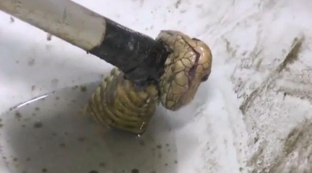 Thái Lan: Hoảng hồn với rắn hổ mang chui lên từ bồn cầu - 1