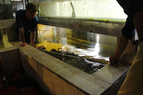 Cá mú nghệ siêu khủng, dài 1m6 bơi lượn ở Sài Gòn - 1
