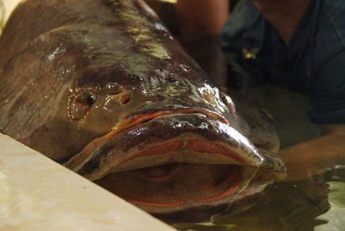 Cá mú nghệ siêu khủng, dài 1m6 bơi lượn ở Sài Gòn - 2