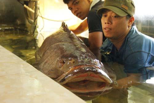 Cá mú nghệ siêu khủng, dài 1m6 bơi lượn ở Sài Gòn - 4
