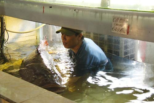 Cá mú nghệ siêu khủng, dài 1m6 bơi lượn ở Sài Gòn - 5