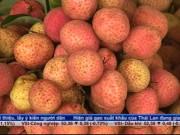 Thị trường - Tiêu dùng - Quả vải Bắc Giang được giá ngay từ đầu vụ