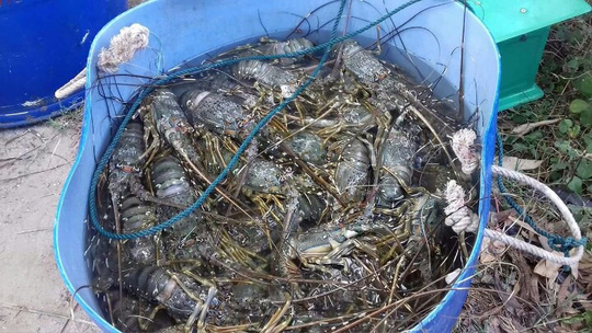 Tôm hùm, cá chết hàng loạt ở vùng biển Phú Yên - 2