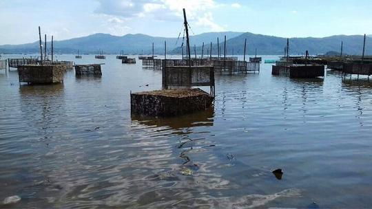Tôm hùm, cá chết hàng loạt ở vùng biển Phú Yên - 3