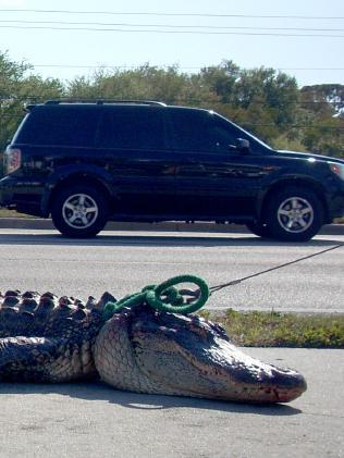 Mỹ: Cá sấu tấn công bé 2 tuổi có phải chuyện bất thường? - 5