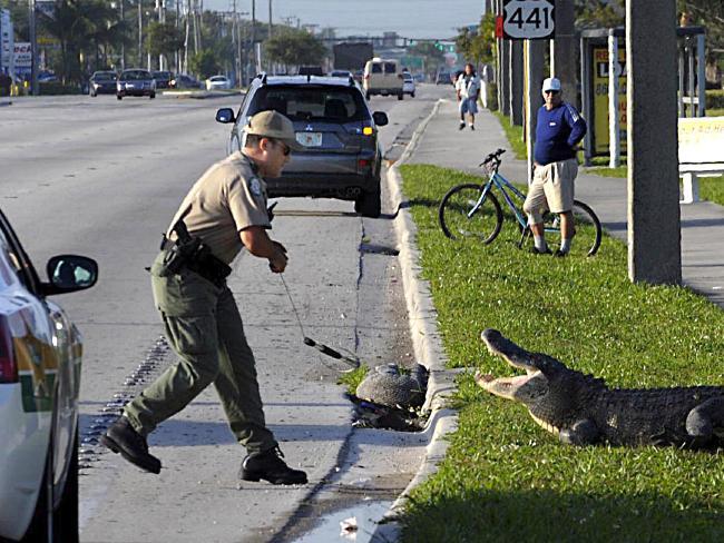 Mỹ: Cá sấu tấn công bé 2 tuổi có phải chuyện bất thường? - 4