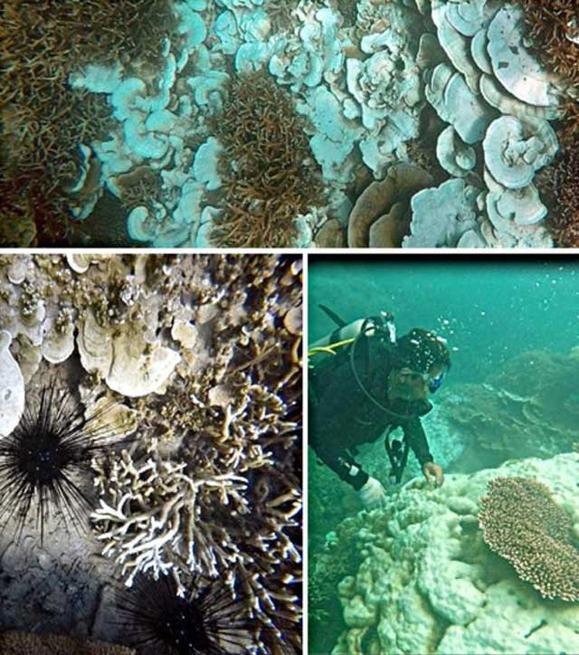 San hô tại Côn Đảo bị tẩy trắng hàng loạt - 1