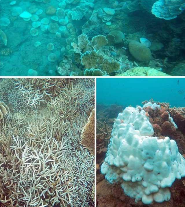 San hô tại Côn Đảo bị tẩy trắng hàng loạt - 4