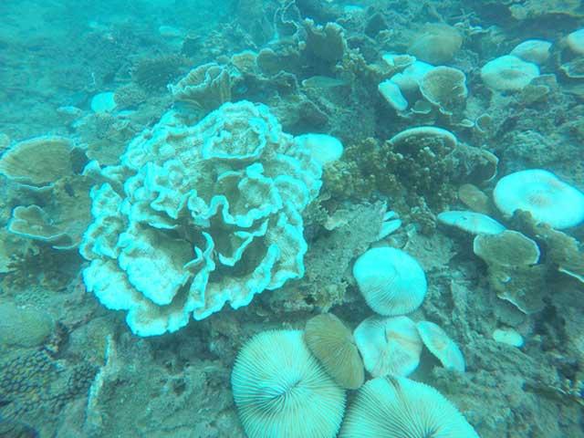 San hô tại Côn Đảo bị tẩy trắng hàng loạt - 5