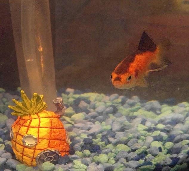 Cá vàng nổi tiếng vì giống trùm phát xít Hitler - 1