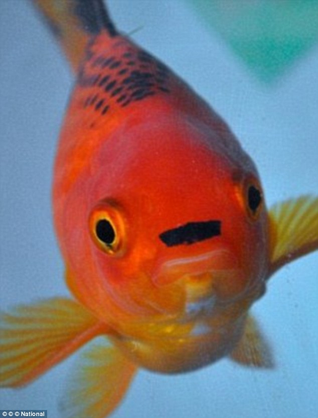 Cá vàng nổi tiếng vì giống trùm phát xít Hitler - 2