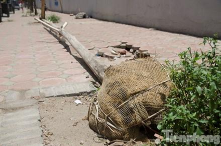 Hà Nội: Nhổ bỏ hàng loạt cây xanh chết khô như cột điện - 1