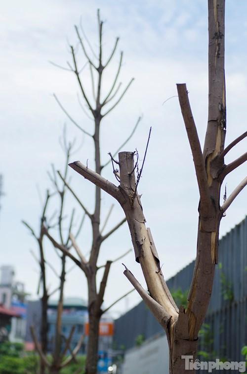 Hà Nội: Nhổ bỏ hàng loạt cây xanh chết khô như cột điện - 8