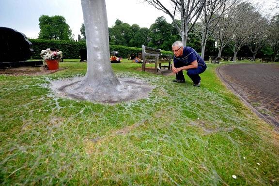 Anh: Hàng nghìn sâu bướm phủ trắng cây cối nghĩa trang - 5