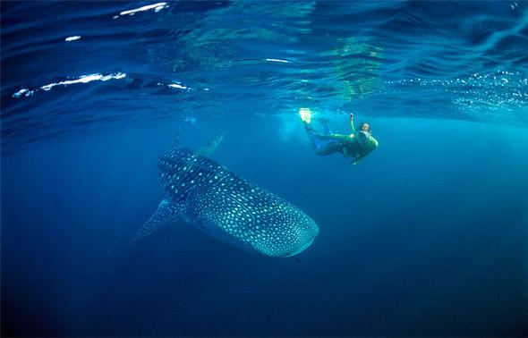 6 địa điểm bạn có thể lặn biển cùng cá mập voi - 2