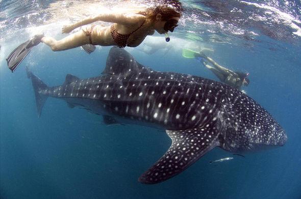 6 địa điểm bạn có thể lặn biển cùng cá mập voi - 3