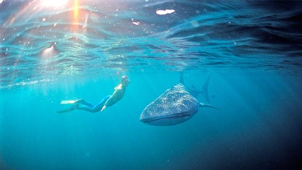6 địa điểm bạn có thể lặn biển cùng cá mập voi - 4