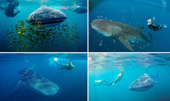 6 địa điểm bạn có thể lặn biển cùng cá mập voi - 1