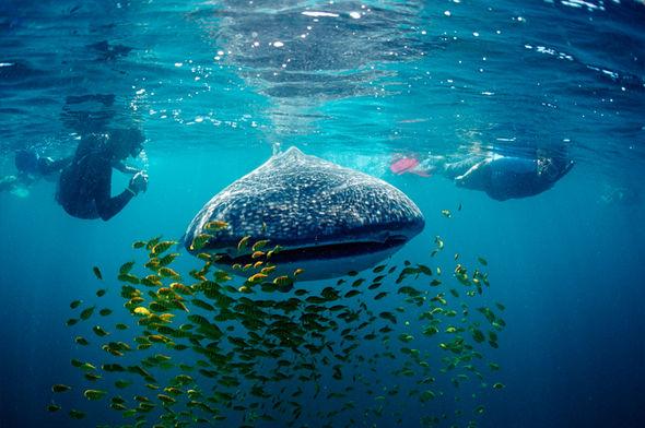 6 địa điểm bạn có thể lặn biển cùng cá mập voi - 5