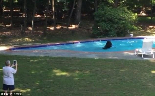 Mỹ: Nắng nóng kéo dài, gấu nâu mò vào bể bơi tắm - 1