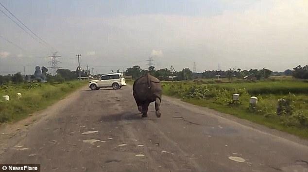 """Ấn Độ: Tê giác """"càn quét"""" quốc lộ, xe hơi chạy tán loạn - 1"""