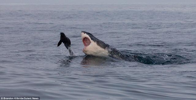 Cá mập truy sát, hải cẩu nhảy thoát thân trong tích tắc - 1