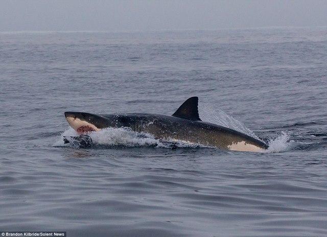 Cá mập truy sát, hải cẩu nhảy thoát thân trong tích tắc - 5