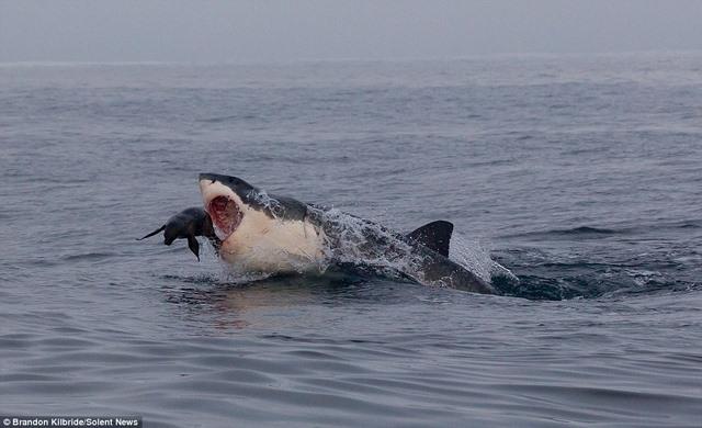 Cá mập truy sát, hải cẩu nhảy thoát thân trong tích tắc - 3