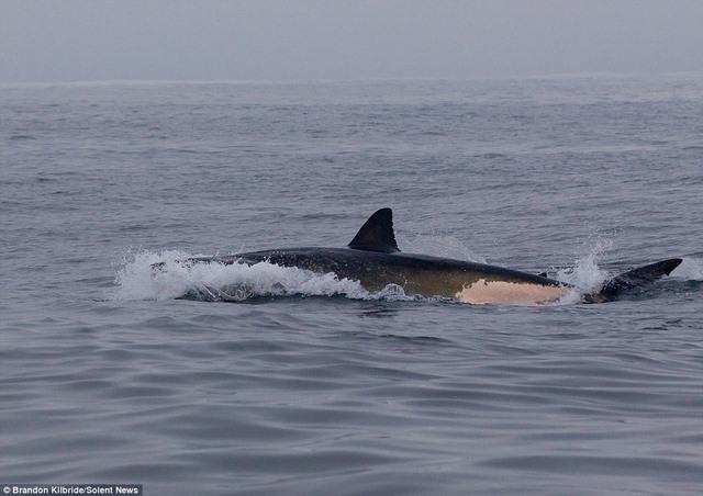 Cá mập truy sát, hải cẩu nhảy thoát thân trong tích tắc - 6