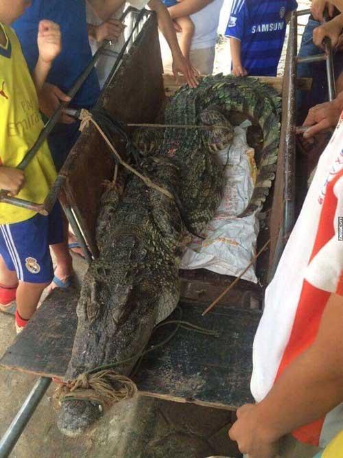"""Hé lộ nguồn gốc cá sấu """"khủng"""" ở hồ câu nổi tiếng Hà Nội - 1"""