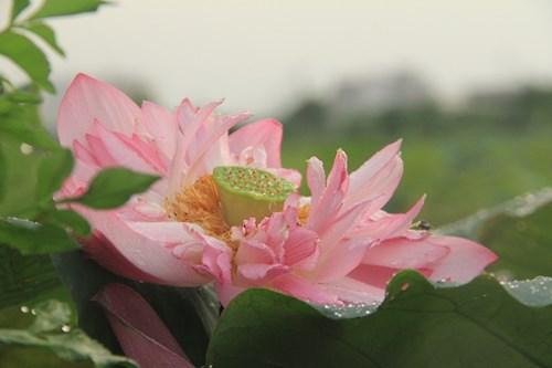 Trà cổ Hà Nội 7 triệu đồng/kg ướp từ 1200 bông hoa sen - 10