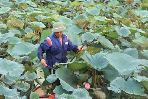 Trà cổ Hà Nội 7 triệu đồng/kg ướp từ 1200 bông hoa sen - 2