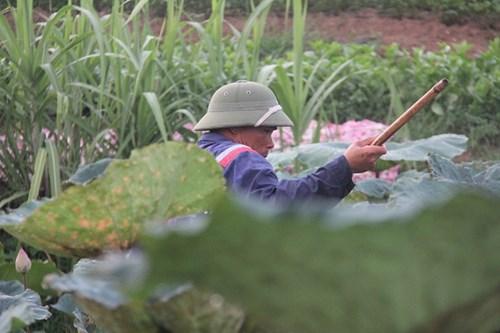 Trà cổ Hà Nội 7 triệu đồng/kg ướp từ 1200 bông hoa sen - 3