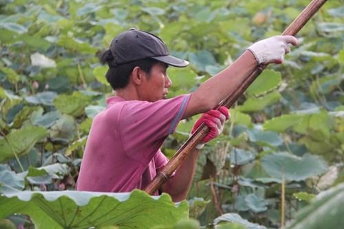 Trà cổ Hà Nội 7 triệu đồng/kg ướp từ 1200 bông hoa sen - 5
