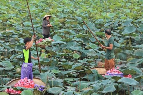 Trà cổ Hà Nội 7 triệu đồng/kg ướp từ 1200 bông hoa sen - 6